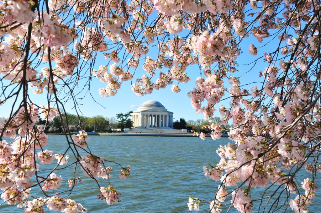 Cherry blossoms in front of the Jefferson Memorial in Washington. Early blooming caused the opening of the 2017 National Cherry Blossom Festival to be moved to  March 15 instead of  March 20.